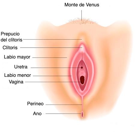 anatomia-vulva