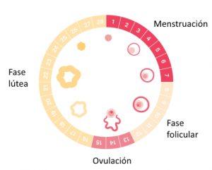 Días fértiles fases